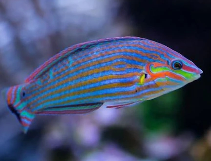 Wardley Wrasse