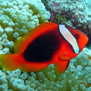 tomato-clownfish