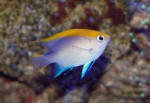 Bluefin Damselfish
