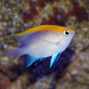 blue-fin-damsel