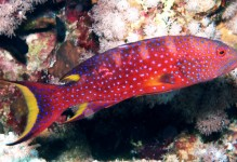Red Louti Grouper