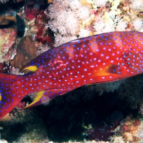 red-louti-grouper