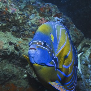 lg-annularis-angelfish.jpg