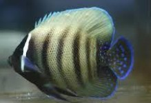 Six Bar Angelfish