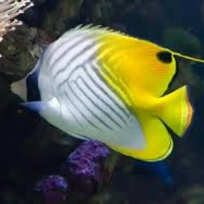 auriga-butterfly-fish