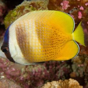 kleinii-butterflyfish.jpg