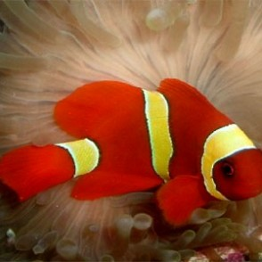yellowstripe-maroon-clownfish