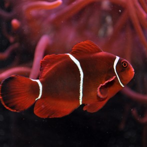 maroon-clownfish