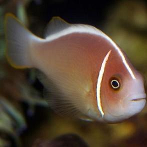 pink-skunk-clownfish