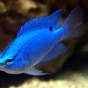 blue-damselfish