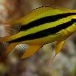 black-gold-chromis