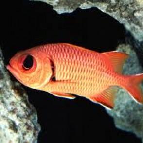 big-eye-soldierfish