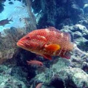 miniatus-grouper