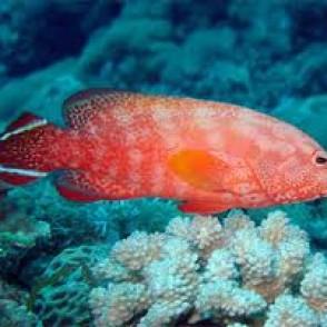 v-tail-grouper