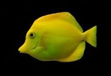 Philippine Yellow Tang