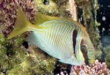 BlueGold Rabbitfish