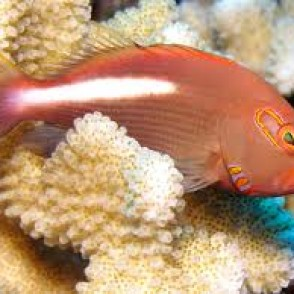 arc-eye-hawkfish