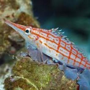 longnose-hawkfish