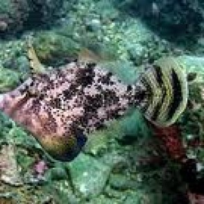 fan-bellied-filefish