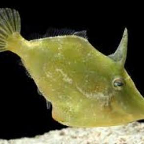 green-filefish