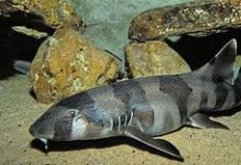 Banded Bamboo Shark