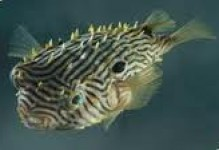 Burr Puffer Fish