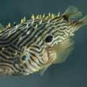 burr-puffer-fish