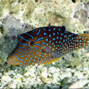 blue-spotted-puffer