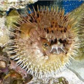 porcupine-puffer