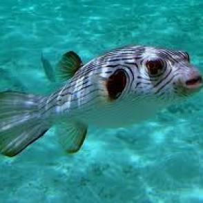 stripped-dogface-puffer