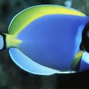 powder-blue-tang