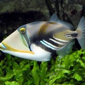 huma-triggerfish
