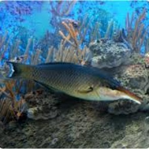 brown-bird-wrasse
