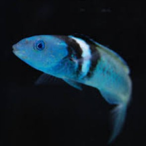 blueheaded-wrasse