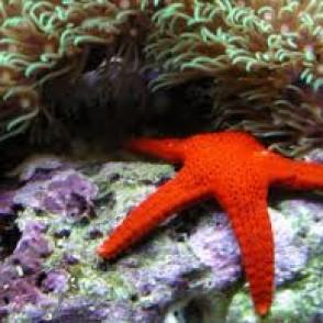 bali-red-starfish